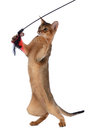 Abyssinian young cat isolated on white background Royalty Free Stock Photo
