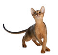 Abyssinian young cat isolated on white background purebred Royalty Free Stock Photos