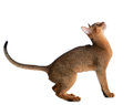 Abyssinian young cat isolated on white background purebred Stock Images