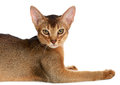 Abyssinian young cat isolated on white background purebred Stock Photography