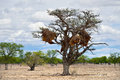 Acacia with big nest. Namibia Royalty Free Stock Photo