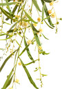 Acacia branches with flowers Stock Photography