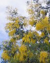 Acacia dealbata tree   wattle or mimosa  in bloom. Spring flowers Royalty Free Stock Photo