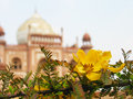 Acacia flower in front of mogul mausoleum the tomb safdarjang is the backdrop to this spiny branch Stock Images