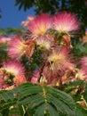 Acacia Flowering Royalty Free Stock Photography