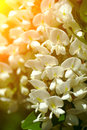 Acacia flowers backlit natural composition Royalty Free Stock Photography