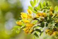 Acacia tree branch with green leaves and yellow flowers. Blooming Caragana Arborescens, Siberian peashrub pea-tree Royalty Free Stock Photo