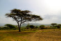 Acacia tree in ethiopia a big ethiopian landscape Stock Image