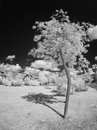 Acacia tree infrared young photo taken with toned technique Royalty Free Stock Photo