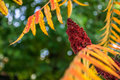 Acacia tree japanese fall naturally Stock Image