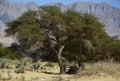 Acacia tree in nature reserve near eilat israel the national biblical wild life hai bar yotvata miles north of Royalty Free Stock Images