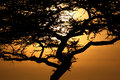 Acacia Tree Sunset, Serengeti, Africa Royalty Free Stock Photo