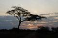Acacia tree at sunset, Serengeti National Park, Tanzania Royalty Free Stock Photo