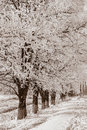 Acacia trees in the snow sepia locust Royalty Free Stock Images