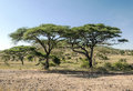 Acacias in the serengeti a sunny day with meadows Stock Photography