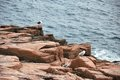 Acadia national park in maine seagulls perched on jagged cliffs Stock Photography