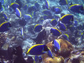 Acanthurus leucosternon Royalty Free Stock Photography