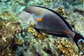 Acanthurus Sohal Royalty Free Stock Photo