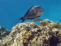 Acanthurus sohal profile Royalty Free Stock Images