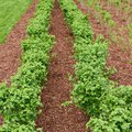 Accurate rows of currant bush seedlings as a background composition Stock Images