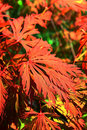 Acer japonicum Royalty Free Stock Photo