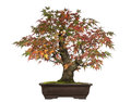 Acer japonicum bonsai tree isolated on white Stock Photo