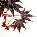 Acer Maple leaves Royalty Free Stock Images