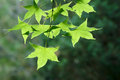Acer monoes the close up of leaves Royalty Free Stock Images