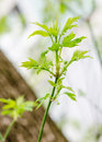 Acer negundo new leaves on branch of Stock Image