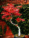 Acer purpureum bonsai tree Royalty Free Stock Photo