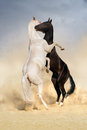 Achal teke horse fight two horses on desert Stock Images