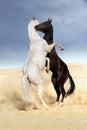 Achal-teke horse fight Royalty Free Stock Photo