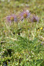Achenes on the fruit of pasqueflowers closeup three pulsatilla in french alps Stock Image