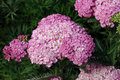 Achillea 'Appleblossom' Royalty Free Stock Photo