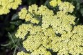 Achillea filipendulina, known as fernleaf yarrow, milfoil or nosebleed - Asian species of flowering plant in the sunflower family Royalty Free Stock Photo