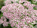 Achillea millefolium flower Stock Photos