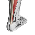Achilles tendon d rendered illustration of the Royalty Free Stock Photography
