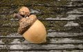 Acorn on a grungy wooden textured table background Royalty Free Stock Photos