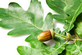 Acorn with leaves Royalty Free Stock Photos