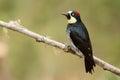 Acorn Woodpecker Royalty Free Stock Photo