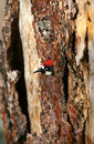 Acorn woodpecker in tree Stock Photography
