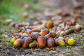 Acorns different maturity and sizes lie on the floor under the oak tree in the forest. Royalty Free Stock Photo