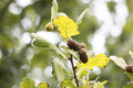 Acorns in the foliage of oak Royalty Free Stock Photo