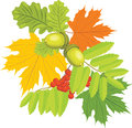 Acorns, rowan and maple leaves Royalty Free Stock Images