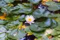 Acqua lotus lily flower Fotografia Stock Libera da Diritti