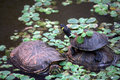 Acrobatic turtles in a pond Royalty Free Stock Images