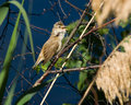 Acrocephalus arundinaceus, Great Reed Warbler Royalty Free Stock Images