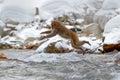 Action monkey wildlife scene from japan monkey japanese macaque macaca fuscata jumping across winter river hokkaido japan sn Stock Photo