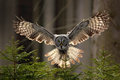 Action scene from the forest with owl. Flying Great Grey Owl, Strix nebulosa, above green spruce tree with orange dark forest back Royalty Free Stock Photo