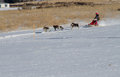 Action shot of a female musher and team this shows snow flying from the back mushers sled as she her compete in the rocky mountain Stock Image